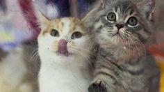 Yetmez ama miyav İngiltere'de perşembe günü yapılacak AB referandumu öncesi birlik yanlıları, Brexit'e karşı kedileri de devreye soktu. #ajanimo #ajanbrian #CatsAgainstBrexit #hayvan #animal #kedi #cat #catstagram #cats #animal #animals #hayvan