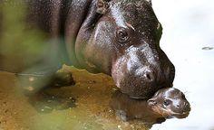 AUSTRÁLIA: A CRIA DE HIPOPÓTAMO PIGMEU QUE ESTÁ A MARAVILHAR O ZOO DE MELBOURNE (COM FOTOS)