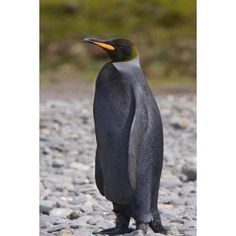 Melanistic king penguin King Penguins Canvas Art - Hugh Rose DanitaDelimont (23 x 34)