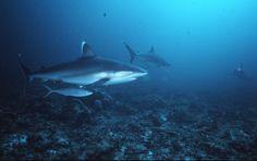 Tauchen mit Hochseehaien auf den Brmabanks. Silberspitzenhai