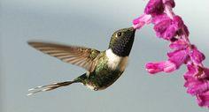 Bellas Aves de El Salvador: Doricha enicura (tijereta violácea) Residente de las montañas altas