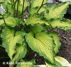 emerald ruff cut hosta   Hosta 'Emerald Ruff Cut' - Hallson Gardens