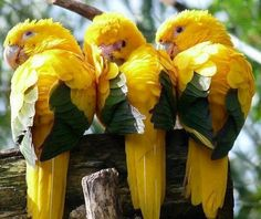 Golden Conure, also known as the Queen of Bavaria Conure.