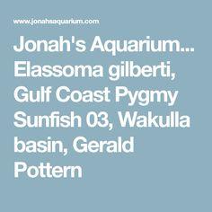 Jonah's Aquarium... Elassoma gilberti, Gulf Coast Pygmy Sunfish 03, Wakulla basin, Gerald Pottern Aquarium Rocks, Basin, Coast