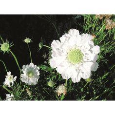 Vit höstvädd, planta, höjd 70 cm, blomning jun-sep, 37 kr (Hortogreen)