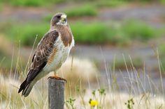 Swainson's Hawk, western North America