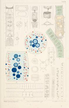 Ueber die Organisation und Physiologie der Cyanophyceenzelle und die mitotische Teilung ihres Kernes. - Biodiversity Heritage Library