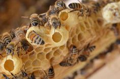 We sat down with our head of beekeeping operations to ask some questions about the queen cells she's been finding in our hives. During summer time, queen Honey Bee Hives, Honey Bees, Raw Honey, Bee Facts, Bee Hive Plans, Beekeeping For Beginners, Raising Bees, Bee Boxes, I Love Bees