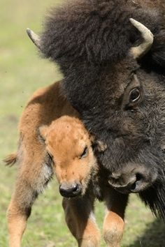 A bison snuggles her calf at the Zoo de Servion in Servion, Switzerland. Farm Animals, Animals And Pets, Cute Animals, Snuggles, Beautiful Creatures, Animals Beautiful, Baby Bison, Giraffe, Elephant