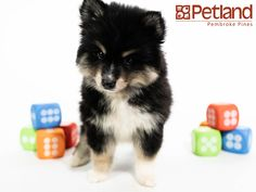 98 Best Cute & Loving Designer Puppies For Sale! images in