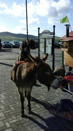 Donkey and dog dingle bay