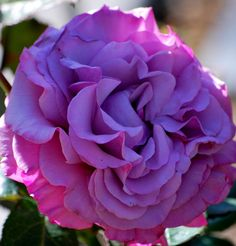A hybrid tea rose called Neptune at Roger's Gardens in Newport Beach, CA