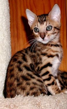 Bengal Kittens Gold Bengal named Nollie. Toyger Cat, Sphynx, Crazy Cat Lady, Crazy Cats, Kittens Cutest, Cats And Kittens, Asian Leopard Cat, Ocicat, Spotted Cat