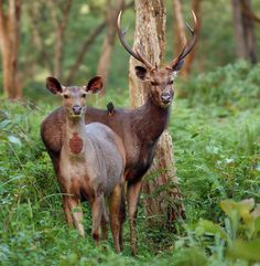 India - Poacher Gang Under Arrest: At Bhadra Tiger Reserve, rangers detained 11 poachers that had illegally killed 2 sambar deer – primary prey of tigers in the reserve. The gang included software engineers, environmental consultants, wealthy coffee planters, and a leading member of the Rifle Association of Karnataka State. All accused confessed and were charged under various sections of Indian Wildlife Protection Act of 1972, which carries fines and punishment of 3-7 years (2017).