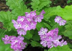 I had no luck with primroses until I tried these - primrose.sieboldii.