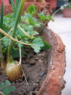 Plantar Cebollas en Macetas en Casa