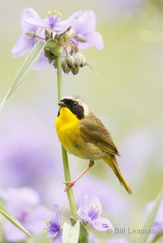 Common Yellowthroat Perched in Spiderwort Flowers