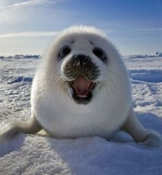 A happy baby Harp Seal at Iles de la Madeleine in East Canada. Harp seal pup playing on ice. Photo by Keren Su. Baby Harp Seal, Baby Seal, Cute Baby Animals, Animals And Pets, Funny Animals, Smiling Animals, Happy Animals, Arctic Animals, Wild Animals