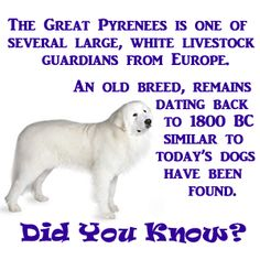 Who knew? Pyrenees Puppies, Great Pyrenees Puppy, Dogs And Puppies, Doggies, Dog Day Afternoon, White Dogs, Mountain Dogs, Big Dogs, Dogs