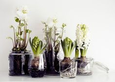 Paperwhites and Hyacinths for indoors - Their bulbs don't even need soil, a bit of shallow water alone; just add enough to cover the lower portion of the bulbs without submersing them. A vintage or glass bowl or shallow pot, some pebbles, a few big bulbs and some sunshine.
