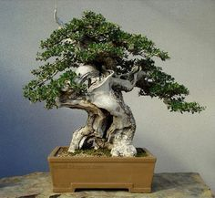 Massive trunk on this European olive bonsai tree
