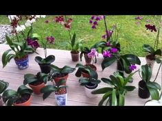 How I water my orchids & propagating new keiki from phalaenopsis orchid plants