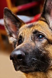 German Shepherds - smartest dogs ever
