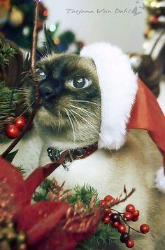 Azevinho gotoso!! Natal da Sheena