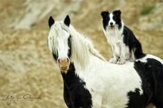 #horse and #bordercollie via Horse Heaven