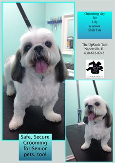 15 best st patricks day pet grooming at the upscale tail find this pin and more on shih tzu groomers at the upscale tail pet grooming salon naperville by the upscale tail pet grooming salon naperville il solutioingenieria Image collections