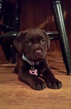 Pure bred Chocolate Lab...7 wks old