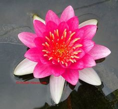 Water Lily Hybrid Nymphaea Charles de Meurville For my water garden, someday