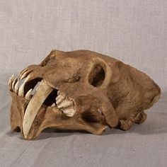 Skull of Barbourofelis, extinct carnivorous mammals which lived during the Miocene (15 to 6 mio years ago) in North America. The appearance of this predator reminded very much the saber-toothed tigers. The structure of the barbourofelis was very strong: it might look like a lion with the physique of a bear or a bear with the head of a lion.