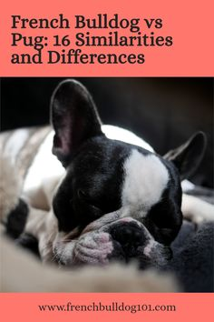 French bulldogs and pugs are two of the most popular small dog breeds, but they tend to get mushed together on a daily basis. That's because they look very similar.But French Bulldogs and Pugs are not the same. Here are 16 similarities and differences between the two breeds. #frenchbulldog #pugs #dogbreeds French Bulldog Facts, French Bulldog Puppies, French Bulldogs, Small Dog Breeds, Small Dogs, Similarities And Differences, Dog Owners, Pugs, Boston Terrier
