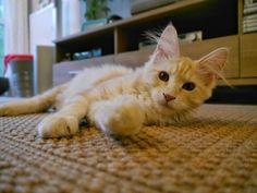 Maya Moriaty   Cute Cat Maine coon
