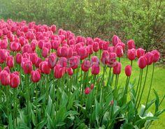 Tulipa Elizabeth Arden
