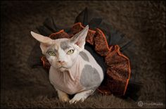 A shot of our cutie girl Twiggy - Halloween 2011 #cats #photography