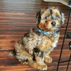Mini Aussiedoodle Puppy!