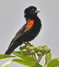 Fan-tailed Widowbird (Euplectes axillaris)   cybeR@NGER