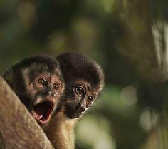 Amazônia; macacos (Foto: Araquém Alcântara)