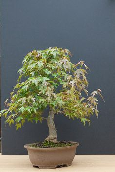 Trident maple bonsai for sale | Flickr: Intercambio de fotos