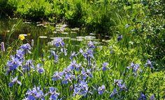 Wasserpflanzen im Teich einsetzen -  Ganz natürlich: Pflanzen halten das Teichwasser algenfrei und sauber. So sind Wasserpflanzen die besten Kläranlagen. Zum einen filtern sie Nährstoffe aus dem Wasser und verwenden sie für das eigene Wachstum. Zum anderen entziehen sie damit den Algen, die sich nur in nährstoffreichem Wasser stark vermehren, damit die Lebensgrundlage.