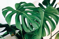 Ficus Elastica, Ficus Lyrata, Big Leaves, Green Leaves, Plant Leaves, Monstera Leaves, Monstera Deliciosa, Multiplier Des Plantes Grasses, Succulents