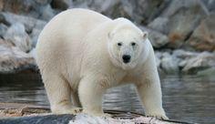 Update: Sled Dog Devoured Alive Hours After Husky-Petting Polar Bear Video Goes Viral