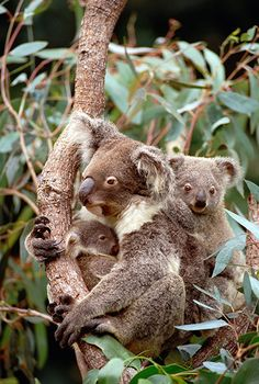 The Australian government has listed the koala as a threatened species in parts of the country for the first time. It says the species faces numerous threats, including climate change, disease, and habitat loss.