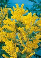 mimosa arbusti Mimosas, Plantation, Plants, Painting, Gardening, Gardens, Lemon, Terrace, Projects
