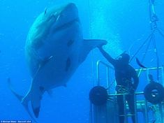 """Her name is Deep Blue, and she pretty. """"Scuba Diver High Fives a Massive Great White Shark Off Guadalupe Island, Mexico"""" Big Great White Shark, Largest Great White Shark, Big Shark, The Great White, Great White Shark Diving, Guadalupe Island, Save The Sharks, Types Of Sharks, Pisces"""