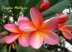beautiful and rare flowers | Starburst Plumeria. Beautiful rare flowers of ... | Bed of flower's