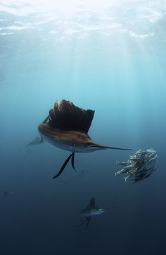 Sailfish sun rays by Shane Gross on Flickr.