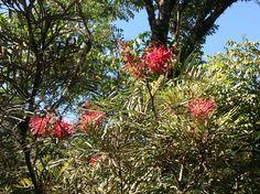 Flores de Sao Chico no Canto do Rio